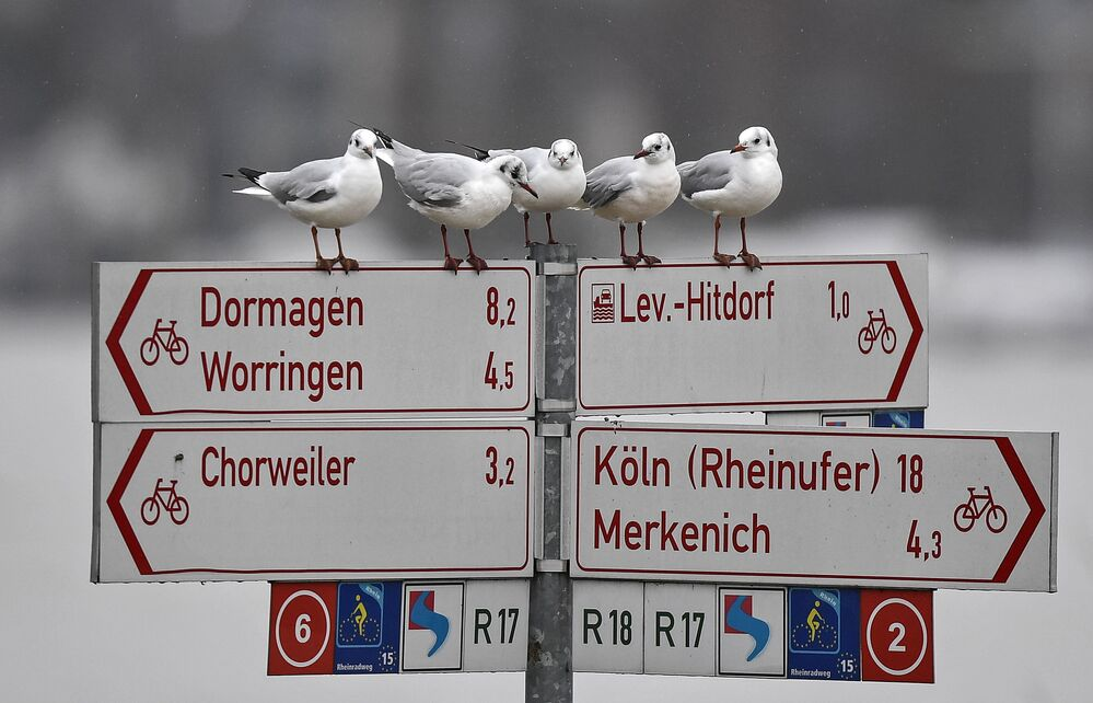 Seagulls sit on a sign post near the flooded Rhine River in Cologne, Germany, Wednesday, 3 February 2021. High tides caused by rain and melting snow are threatening commercial shipping on Germany's biggest river, the Rhine.