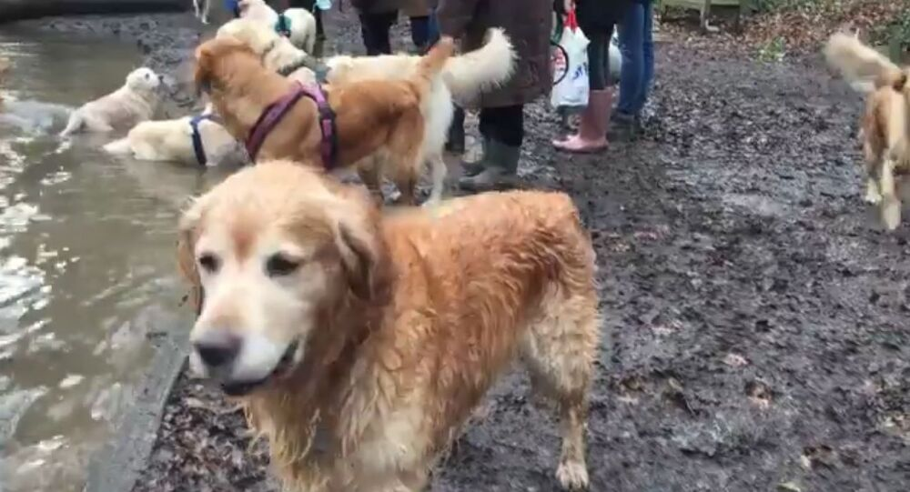Golden Retriever Can't Wait to Join a Pool Party for Canines