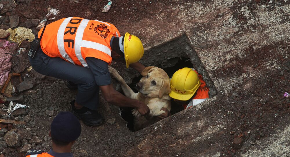 Rescue workers along with their sniffer dog come out after searching for survivors amid the debris of a residential building that collapsed in Bhiwandi, outskirts in Mumbai, India, Sunday, July 31, 2016