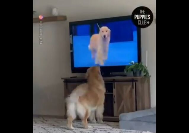 The video of this Golden Retriever seeing another doggo on television and getting excited is surely adorable.