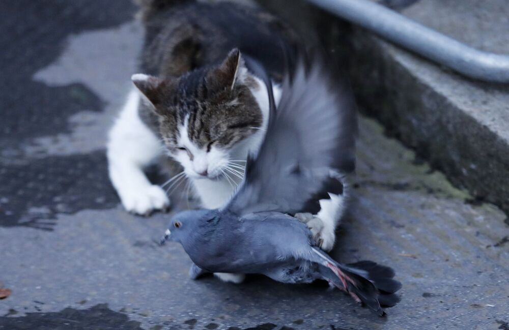 Larry the cat, Chief Mouser to the Cabinet Office catches a pigeon as journalists await results of the Brexit trade deal in Downing Street in London, Thursday, 24 December 2020.