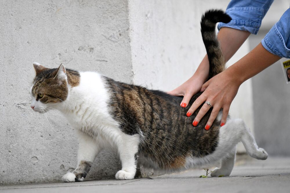 Larry the cat is stroked by a journalist in Downing Street, central London on 16 June 16 2020.