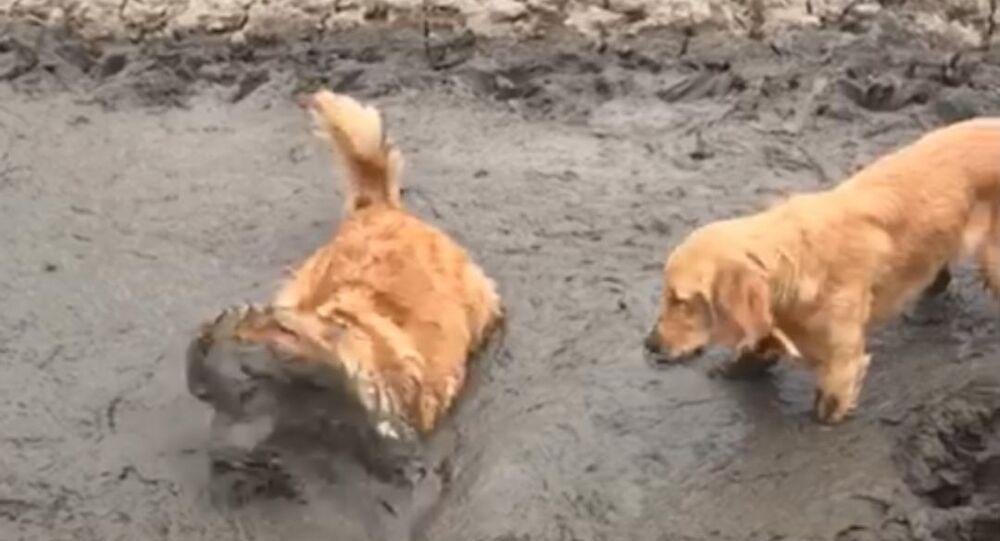 retrievers in the mud