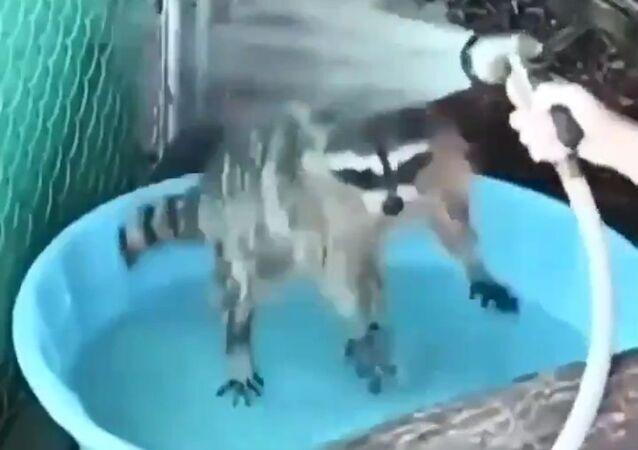 A raccoon at bath time