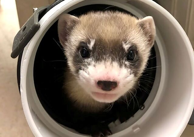 Elizabeth Ann, the first cloned black-footed ferret and first-ever cloned U.S. endangered species, pokes through a pipe at 50-days old at the U.S. Fish and Wildlife Service's (USFWS) National Black-footed Ferret Conservation Center near Fort Collins, Colorado, U.S. January 29, 2021