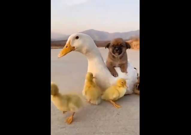This video of a duck, a pup and ducklings