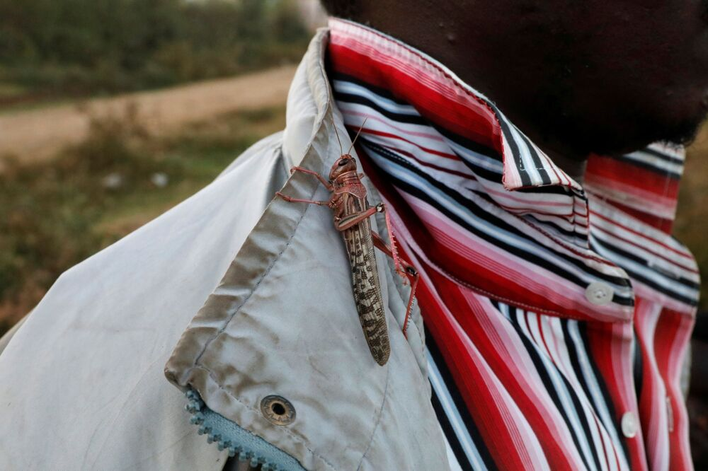 A locust sits on a man's shirt as desert locusts are harvested near the town of Rumuruti, Kenya, 3 February 2021.