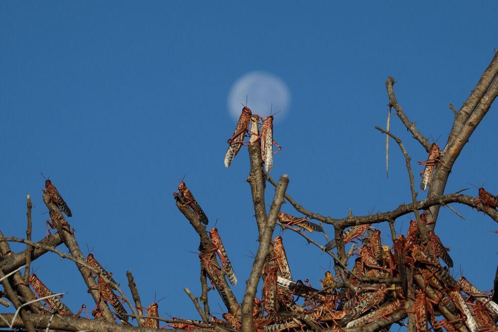 Desert locusts rest on tree branches near the town of Nanyuki, Kenya, 31 January 2021.