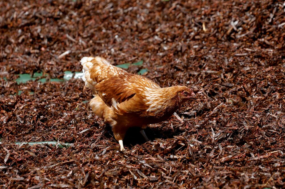 A chicken feeds on crushed desert locusts after they were left out to dry, before the locusts are made into animal feed, at a farm near the town of Rumuruti, Kenya, 3 February 2021.