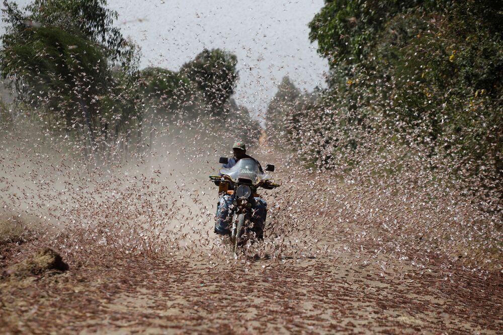 A man riding a motorcycle drives through a swarm of desert locusts near the town of Rumuruti, Kenya, 1 February 2021.