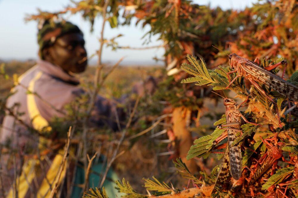 A man harvests desert locusts, near the town of Rumuruti, Kenya, 1 February  2021.