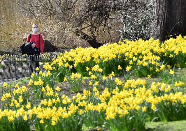 A pedestrian wearing a face covering walks past a flower bed full of daffodils in St James's Park, central London, 24 February 2021.
