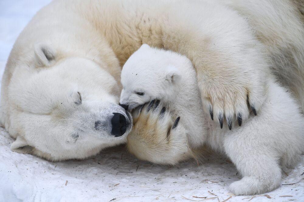 Gerda, a female polar bear, and her cub snuggling at the Novosibirsk Zoo.