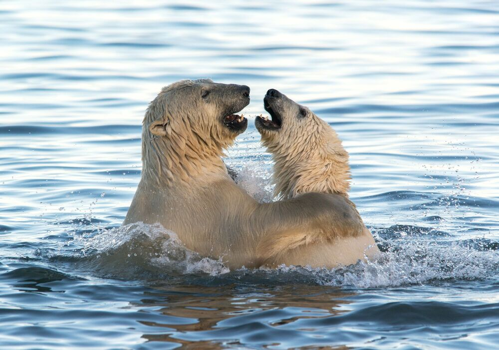 Two bears goofing around in the Chukotka Sea.