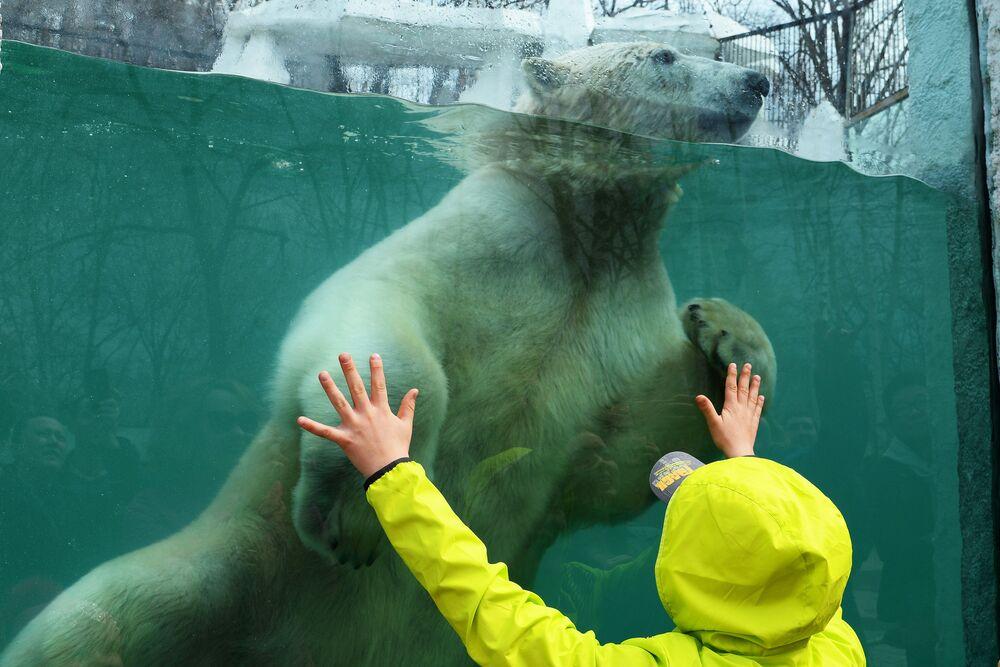 A polar bear entertaining visitors at the Khabarovsk Zoo.