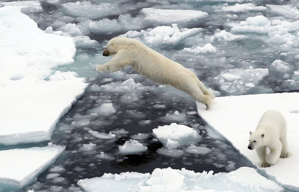 An intrepid bear, drifting on ice, makes a leap, while his companion watches.