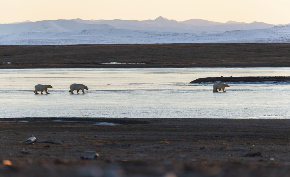 A small group of polar bears in Chukotka.