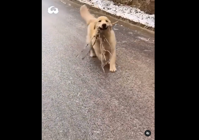 Golden Retriever sliding