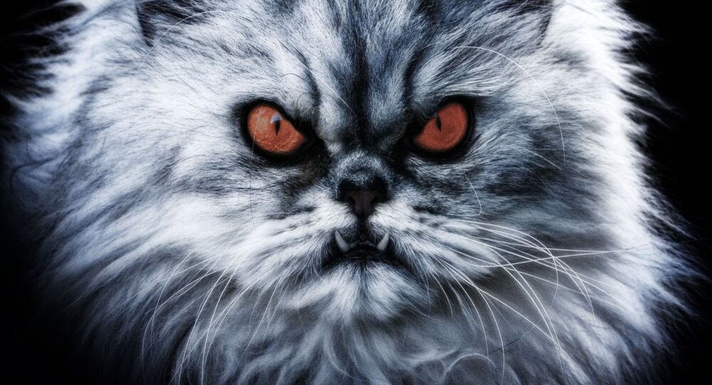 Diabolical grey Cat