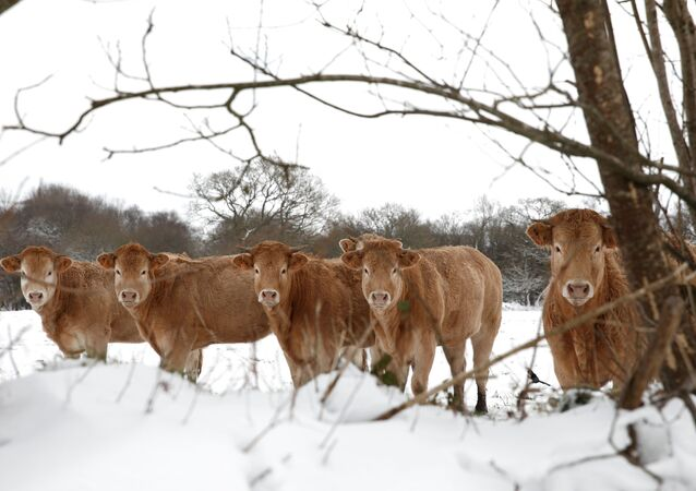 Cows are photographed on a snow-covered meadow in Plounevez-Moedec in the French western region of Brittany, as winter weather with snow and cold temperatures hits a large northern part of the country, France, February 10, 2021