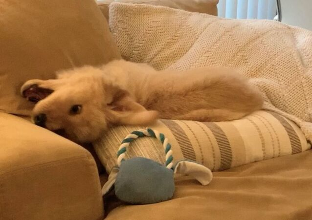 Falling Into Weekend: Golden Retriever Puppy Tests Couch Pillows
