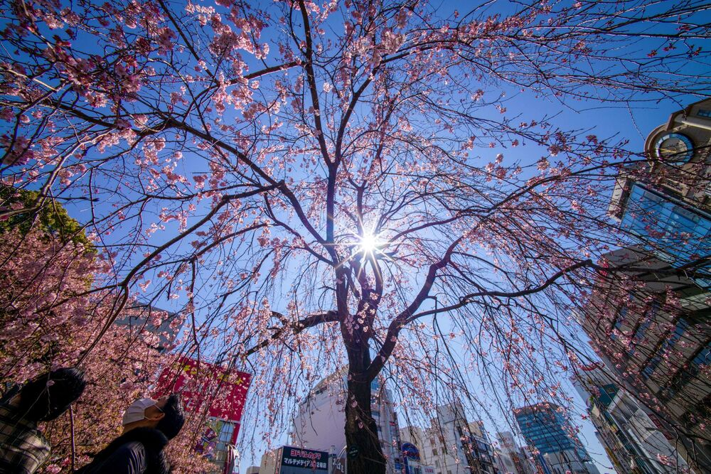 Pedestrians looks at early blooming cherry blossoms in a park in Tokyo on 14 March 2021.