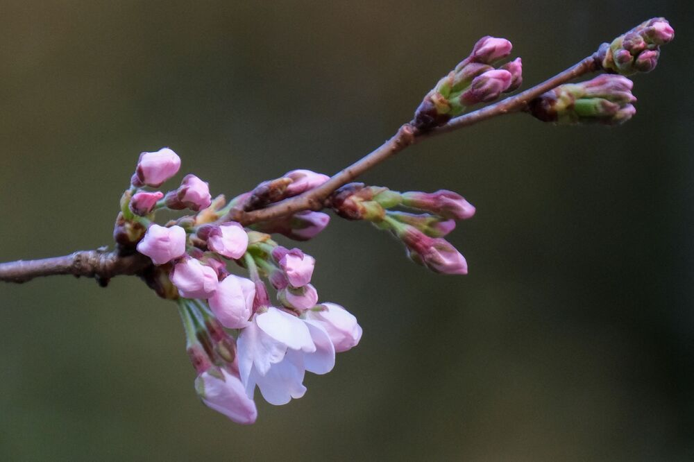 Flowering cherry blossoms and buds on a sample cherry tree, under phenological observation conducted by the Tokyo regional headquarters of the Japan Meteorological Agency, are seen at Tokyo's Yasukuni Shrine on 14 March 2021.