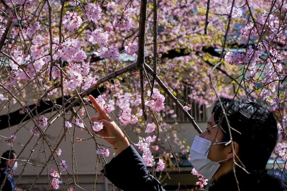 A woman looks at early blooming cherry blossoms in a park in Tokyo on 14 March 2021.