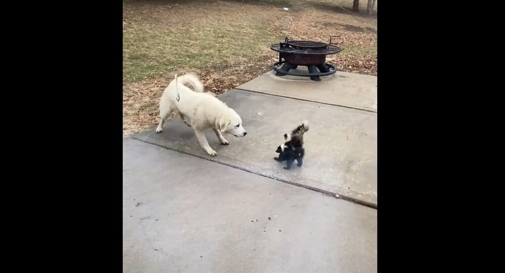 Molly the Dog Intrigued by Skunk || ViralHog