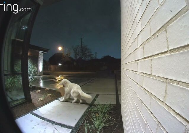 Four Legged Porch Pirate Takes off With Delivery || ViralHog