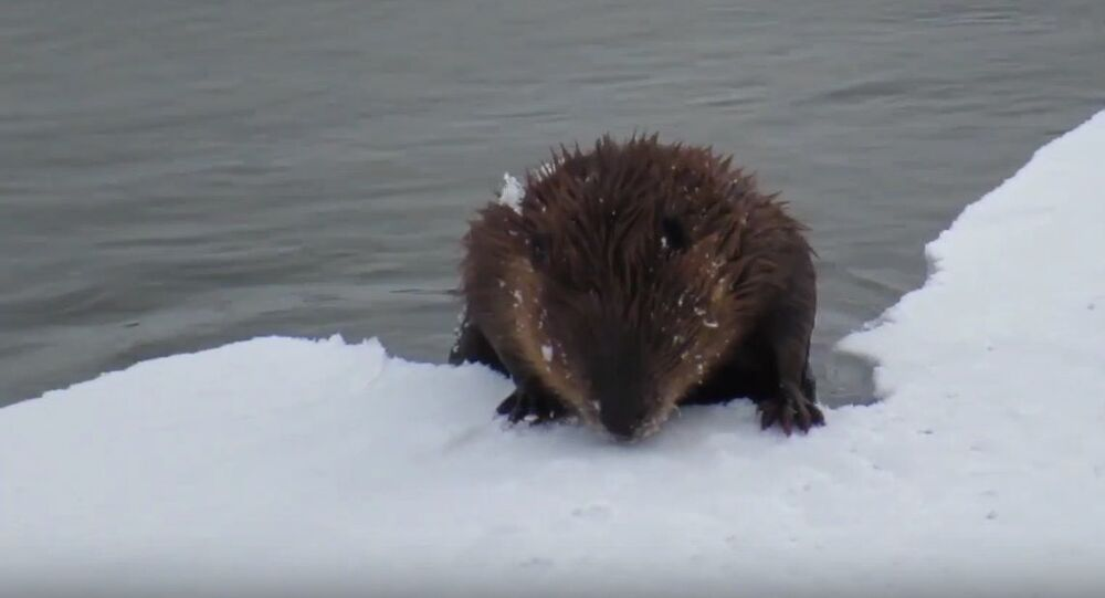 Perplexed Beaver Reflects on 'Gravity of Situation' After Crust of Ice Collapses Under Its Weight