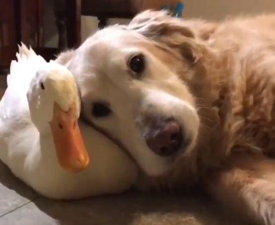 golden retriever and duck