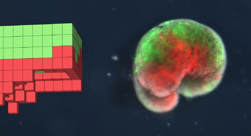 A computer-designed organism. Left: the design discovered by the computational search method in simulation. Right: the deployed physical organism, built completely from biological tissue (frog skin (green) and heart muscle (red))