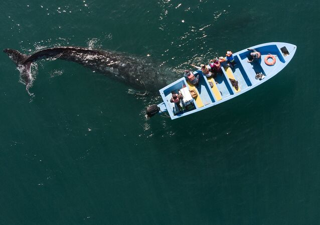 Aerial view of a grey whale swimming near a whale watching boat at the Ojo de Liebre Lagoon in Guerrero Negro, Baja California Sur, Mexico.