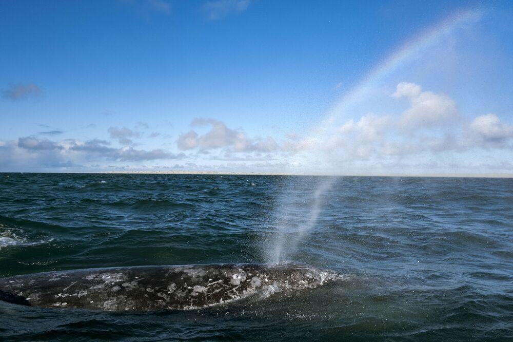 A grey whale is seen at the Ojo de Liebre Lagoon in Guerrero Negro, Baja California Sur, Mexico.
