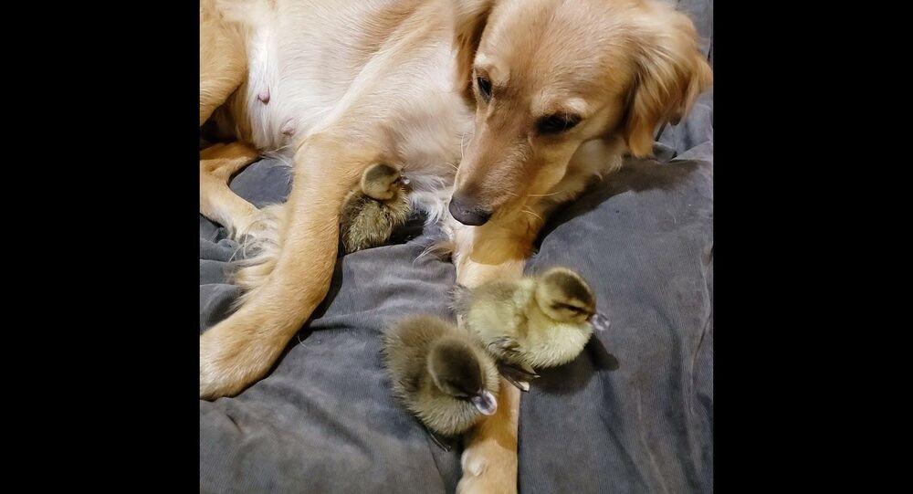 Ducklings Snuggle up to Sweet Retriever || ViralHog