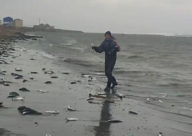 Pacific Ocean herring