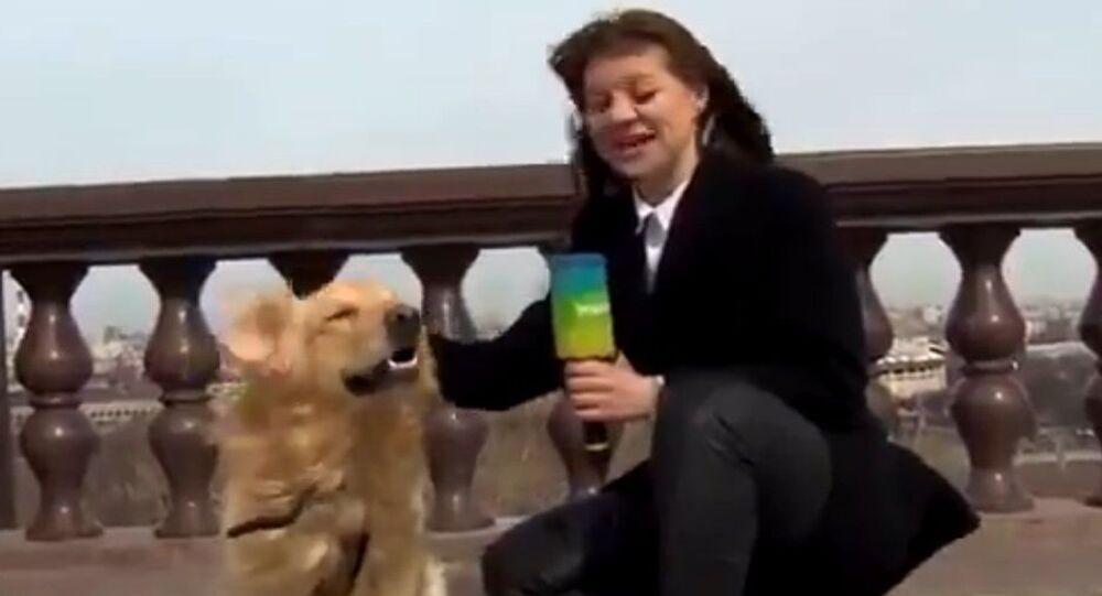 Golden retriever and TV reporter