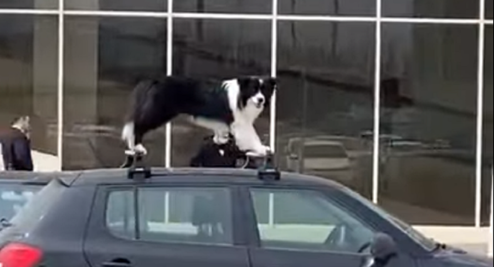 Woof Rack: Amusing Doggo Spotted Atop a Car