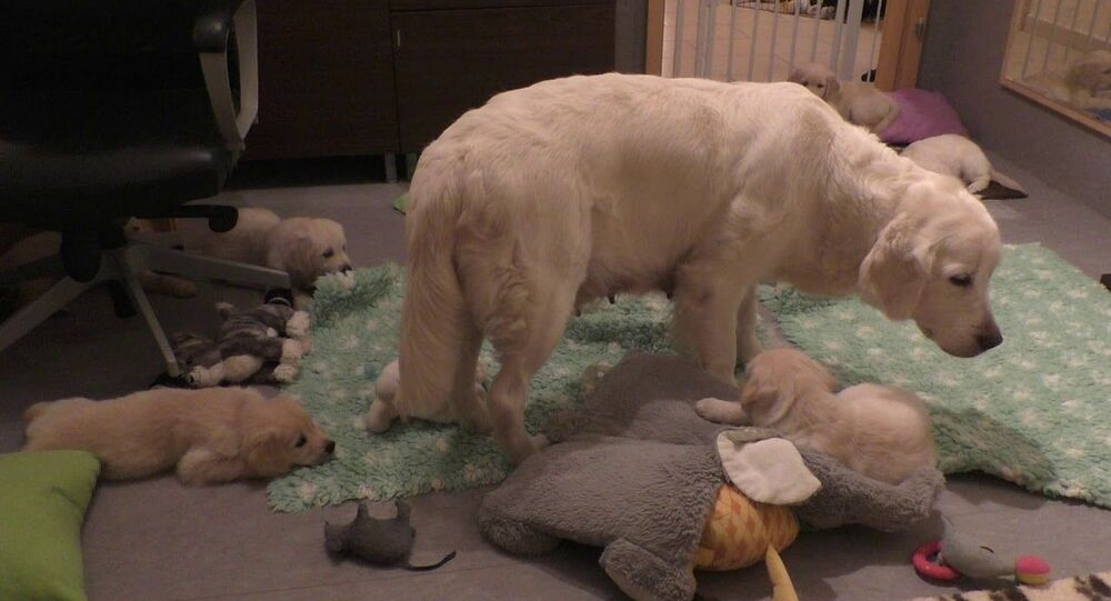 How an experienced dog mother teaches her 8 weeks old puppies to be calm.