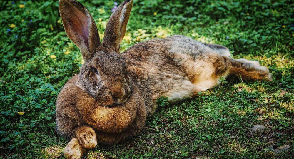 A big rabbit
