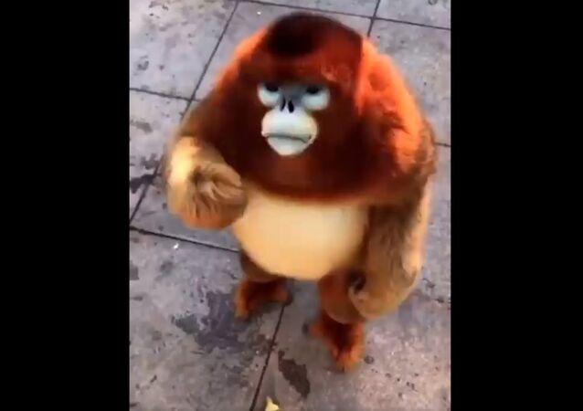 Golden snub-nosed monkey enjoying free snacks