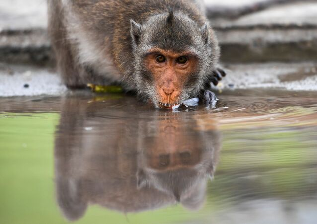 A long-tailed macaque drinks water in a mangrove near Bang Khun Thian on World Water Day at the outskirts of Bangkok, Thailand March 22, 2021.