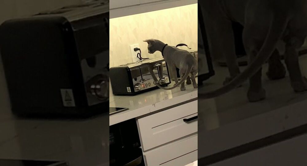 Curious Cat Startled by Toaster Popping || ViralHog