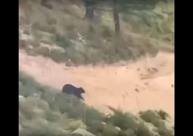 Bear chases mountain biker