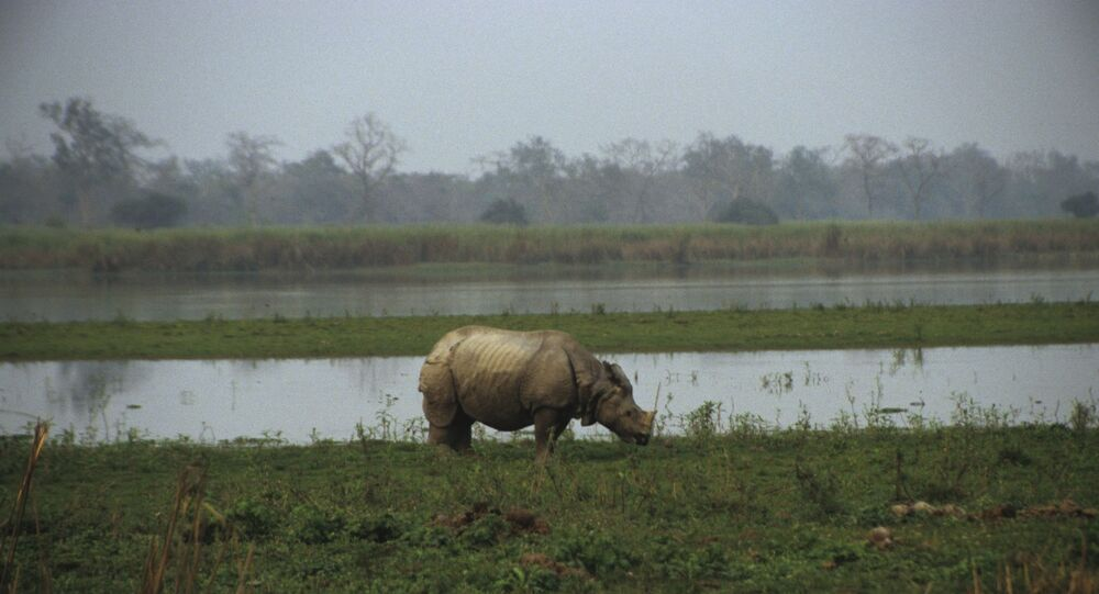 Kaziranga National Park is situated on the south bank of the Brahmaputra river in Assam, India.