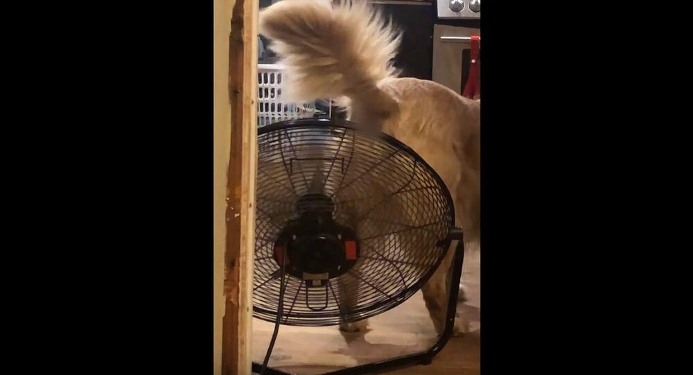 Fan Cools Down Retriever's Rump || ViralHog