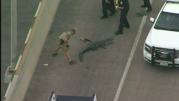 Alligator blocks traffic on Houston bridge - Sputnik International