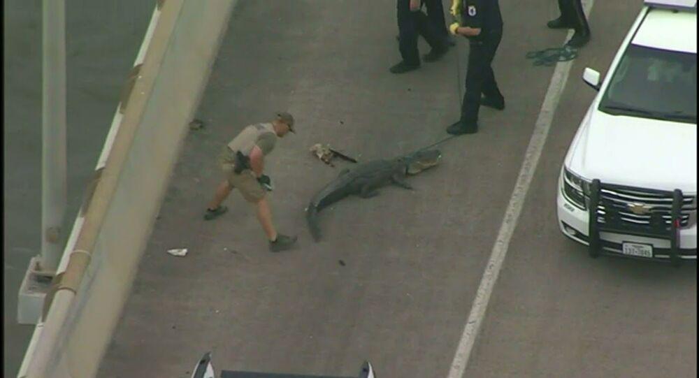 Alligator blocks traffic on Houston bridge