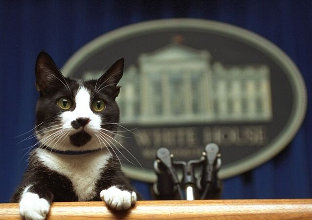 In this March 19, 1994 file photo, Socks the cat peers over the podium in the White House briefing room in Washington.